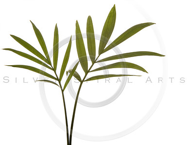 Green Bamboo Leaves Isolated on White.