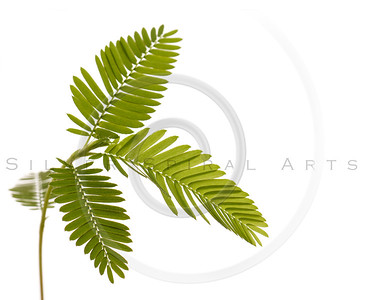 Green Leaf  Isolated on White.