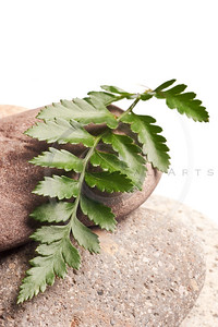Green Fern Isolated