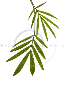 Green Bamboo Leaf Isolated on White.