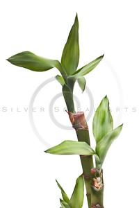 lucky bamboo isolated