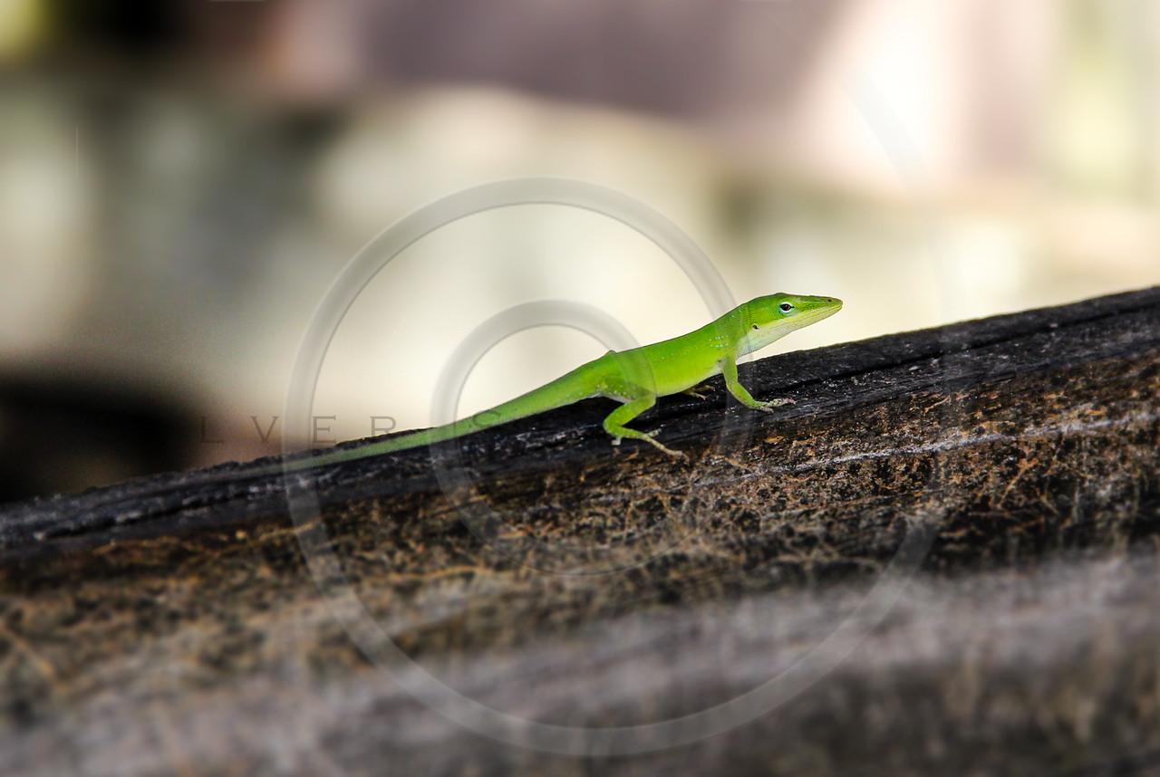 Gecko Green Chameleon Lizard on Brown Wood