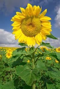 Sunflower, Ayalon Valley Israel