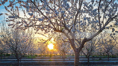 Blossoming almond trees at sunset, Ayalon Valley Israel