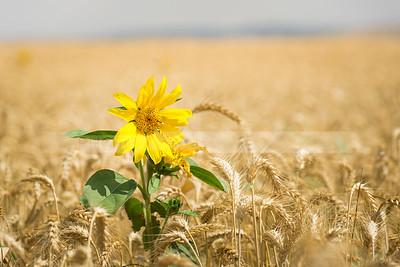 Sunflower in a barley field, Israel