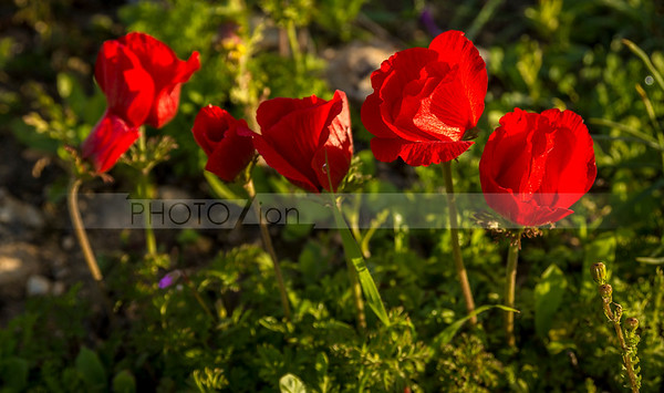 Calanit - red poppy, or anemone - is a national flower of Israel
