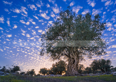 Olive tree with clouds