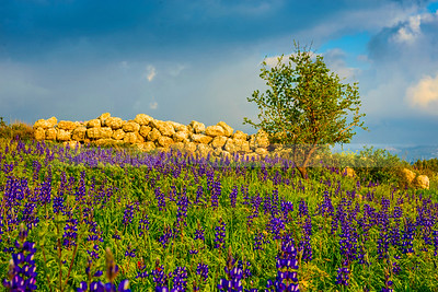 Hillside field of lupin flowers