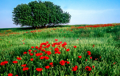 Carob tree with poppies