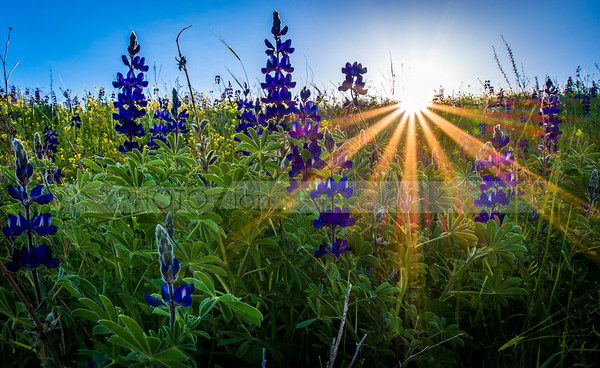 Blue Lupins with sunrise, Valley of Elah