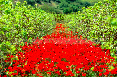 Red Carpet of poppies