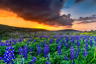 Hillside field of lupin flowers at sunset