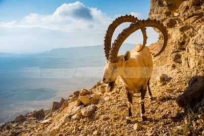 Ibex mountain goat