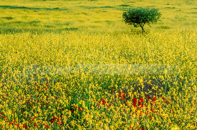 Tree in a mustard field