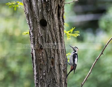 Syrian woodpecker, Israel