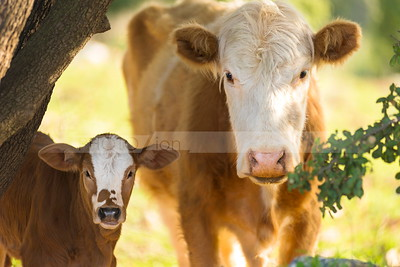 Brown cow with a calf looking at the camera, Golan Heights, Israel