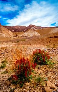 Ramon Crater Flowers