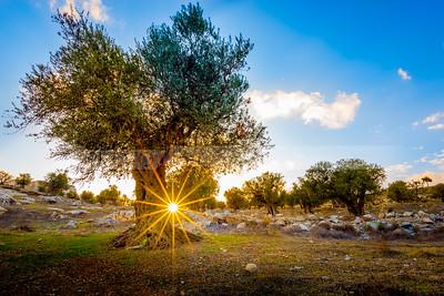 Sunburst with olive tree