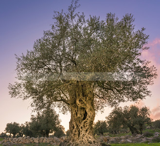 Olive tree in a grove grown by monks of Mar Elias Monastery for olive oil, Jerusalem Israel
