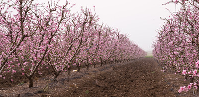 Almond trees blossoming; Golan Heights Israel