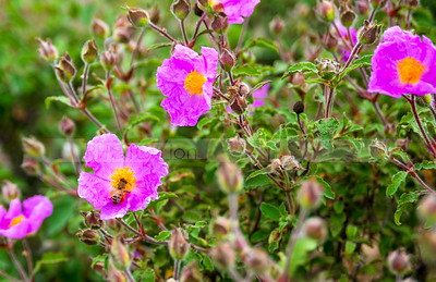Rock rose flowers
