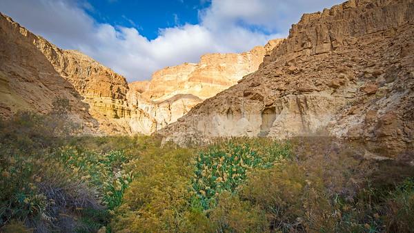Reeds in Ein Bokek Wadi, Judean Desert landscape