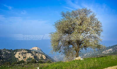 Blossoming tree with view of Nimrod's Castle