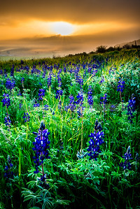 Cloudy sunrise over lupine field, Valley of Elah