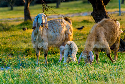 Mother goat with kid