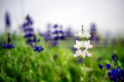 Blue and white lupine flowers