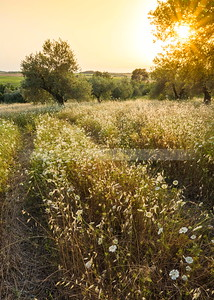 Wildflower meadow with olive trees, Israel