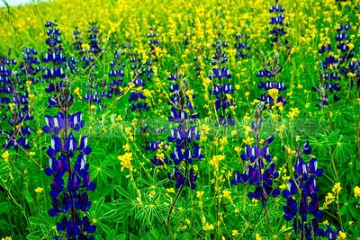 Spring flower fields, Valley of Elah