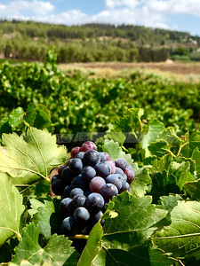 Cluster of purple grapes in the Ayalon Valley vineyards