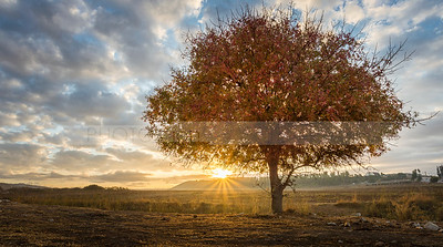 Fall tree at sunset, Valley of Elah where David fought Goliath, Israel