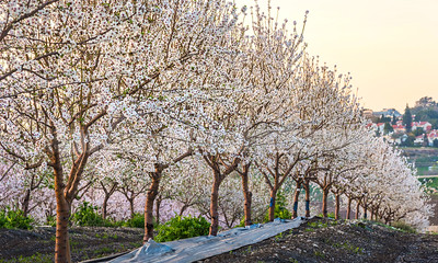 Almond trees blossoming, Ayalon Valley Israel