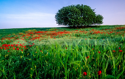Carob tree with wheat poppies