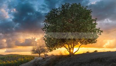 Tel Azekah terebinths at sunset