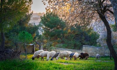 Sheep om the Mount of Olives