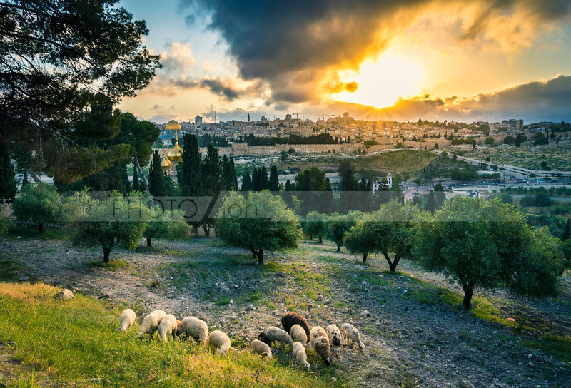 Sheep on the Mount of Olives with view of Jerusalem