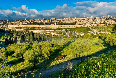 Horse grazing on Mount of Olives, with view of Jerusalem