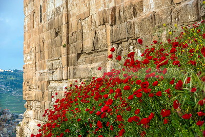Red poppies, national flower of Israel, by the Old City wall, Jerusalem