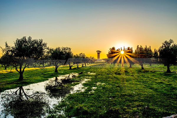 Olive Trees of Peace at sunrise