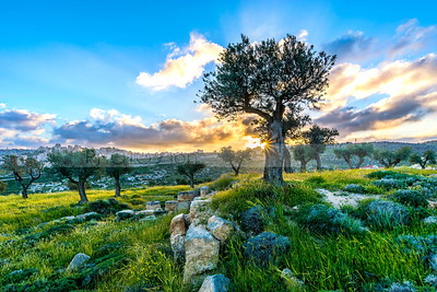 Olive trees in Shepherds Field at sunset