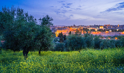 Jerusalem with olive trees and mustard flowers