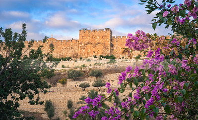 Golden Gate with pink Bougainvillea bush, Old City Jerusalem