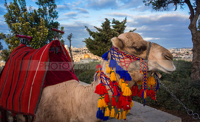 Jerusalem Camel on the Mount of Olives