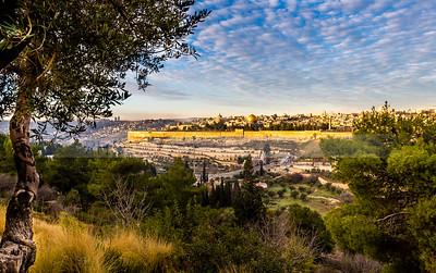 Olive Tree and Old City Jerusalem