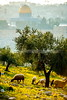 Sheep on the Mount of Olives
