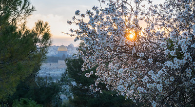 Blossoming almond tree with view of Jerusalem