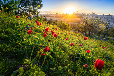 Jerusalem sunset with red anemone flowers